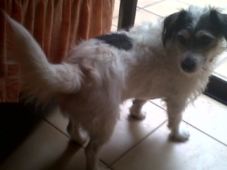Parson russel terrier x bichon, 5 ans, mâle, Var Django10