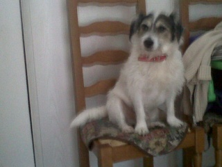 Parson russel terrier x bichon, 5 ans, mâle, Var Django11