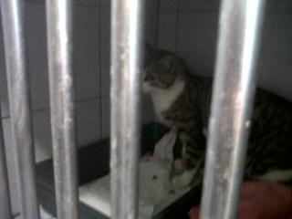 Chat tigré gris, 9 mois, Var Icare_10