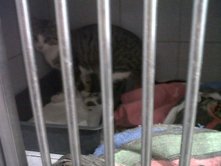 Chat tigré gris, 9 mois, Var Icare_11