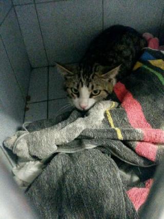 Chat tigré gris, 9 mois, Var Icare_12