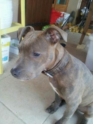Staffordshire terrier américain, mâle, 4 mois, Var  Staff_10