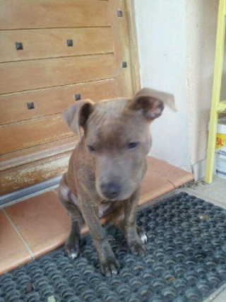 Staffordshire terrier américain, mâle, 4 mois, Var  Staff_11
