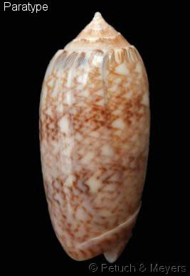 Americoliva bollingi choctaw - Petuch & R.F. Myers, 2014 Americ11