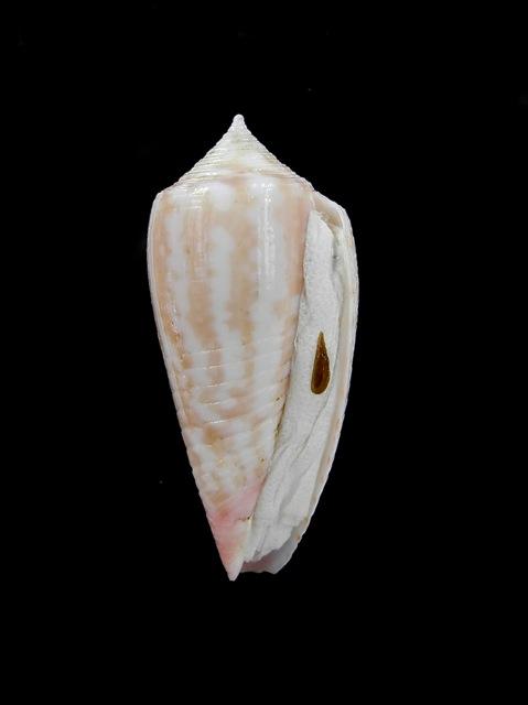 Conus (Phasmoconus) oishii - Shikama, 1977 Dscn6711