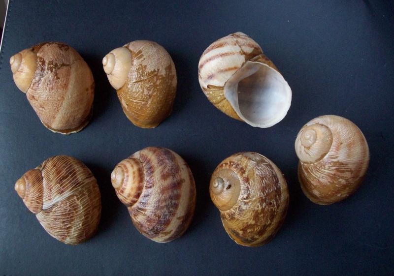 Helix aspersa f. rugulosa Bourguignat, 1864, à confirmer. 100_3710