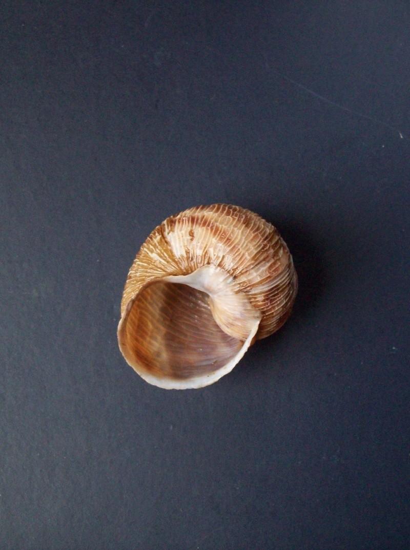 Helix aspersa f. rugulosa Bourguignat, 1864, à confirmer. 100_3811