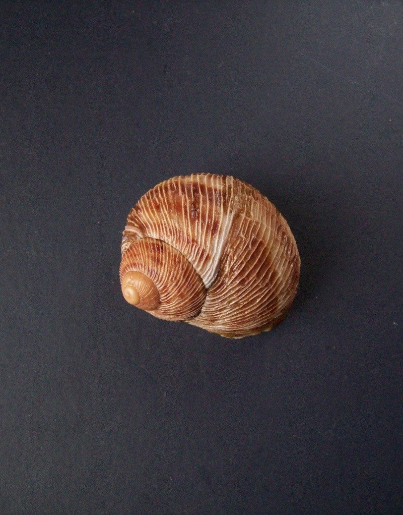 Helix aspersa f. rugulosa Bourguignat, 1864, à confirmer. 100_3812