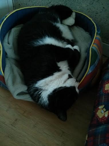 [SAUVETAGE] Gros Pépère beau chat noir et blanc court sur pattes Gros_p11