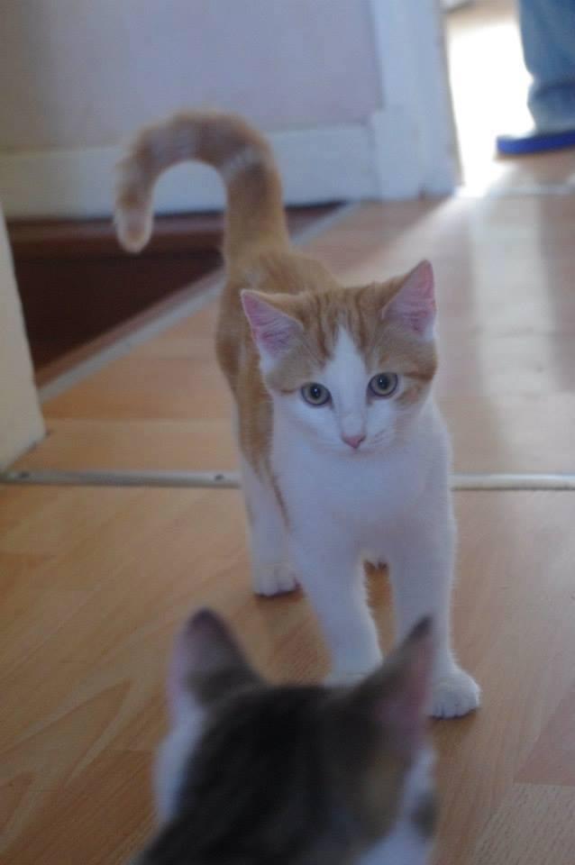 [RETOUR A L'ADOPTION] URGENCE AVANT LE 1er MAI -  Hermès beau chat roux et blanc - né en 2012 Hermas11