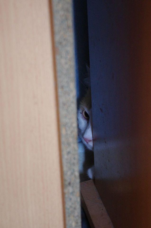 [RETOUR A L'ADOPTION] URGENCE AVANT LE 1er MAI -  Hermès beau chat roux et blanc - né en 2012 Hermas12