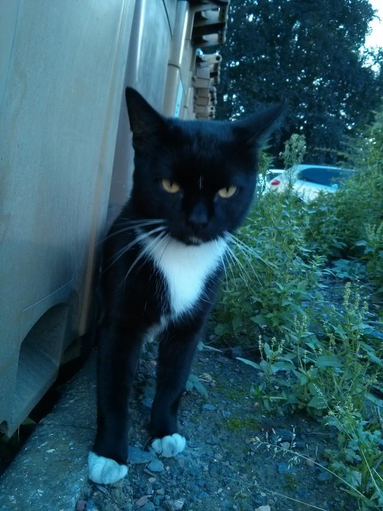 [SAUVETAGE] Loulou très joli et jeune chat noir et blanc Loulou10