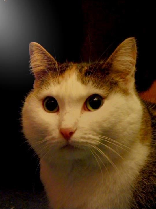 [SAUVETAGE] Vanille très belle chatte tricolore Vanill11