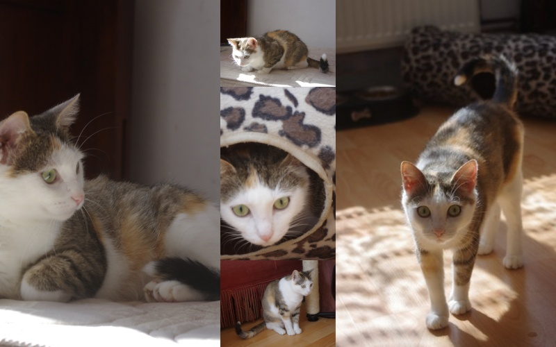 [SAUVETAGE] Vanille très belle chatte tricolore Vanill12