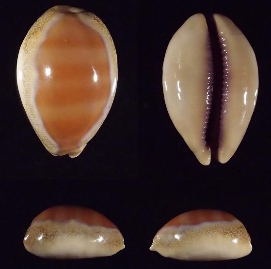 Lyncina carneola - (Linnaeus, 1758) - Page 2 Carneo10