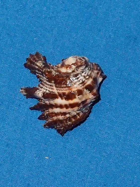 Drupina lobata - (Blainville, 1832) P2036610