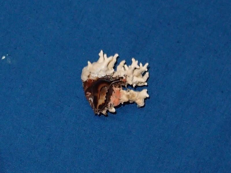 Drupina lobata - (Blainville, 1832) P2036613