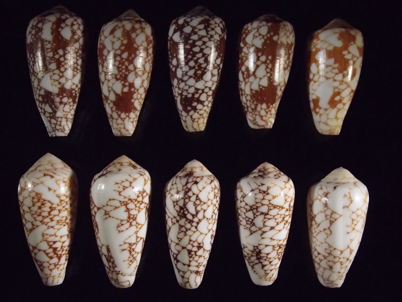 Conus (Darioconus) pennaceus   Born, 1778  -  de Saint Brandon P2166810