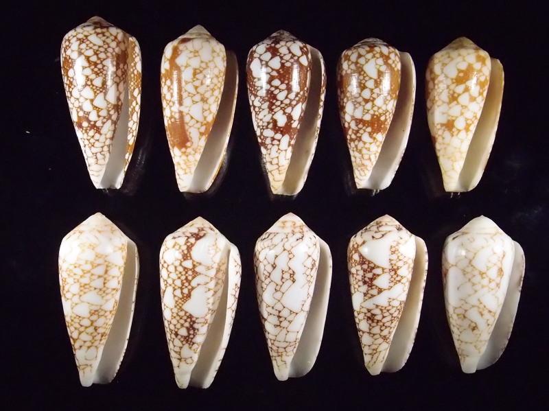 Conus (Darioconus) pennaceus   Born, 1778  -  de Saint Brandon P2166811
