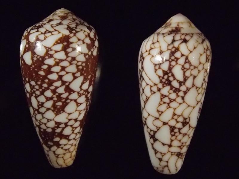 Conus (Darioconus) pennaceus   Born, 1778  -  de Saint Brandon P2166812