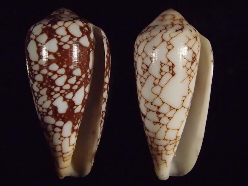 Conus (Darioconus) pennaceus   Born, 1778  -  de Saint Brandon P2166813