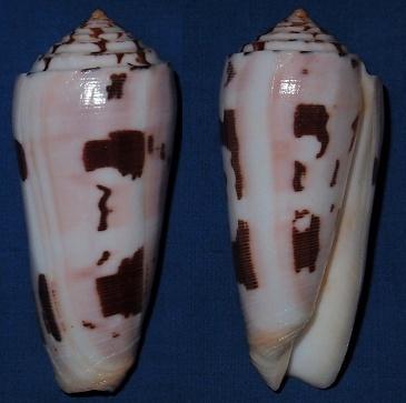 Conus (Pionoconus) striatus   (Linnaeus, 1758)  - Page 4 Striat10