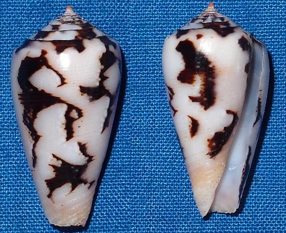 Conus (Pionoconus) striatus   (Linnaeus, 1758)  - Page 4 Stritu10
