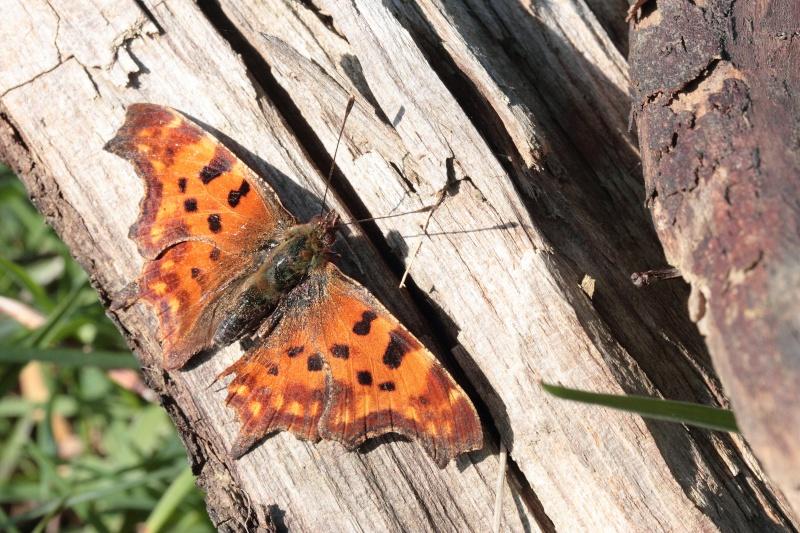 Premières observations de papillons en 2014 Img_3512