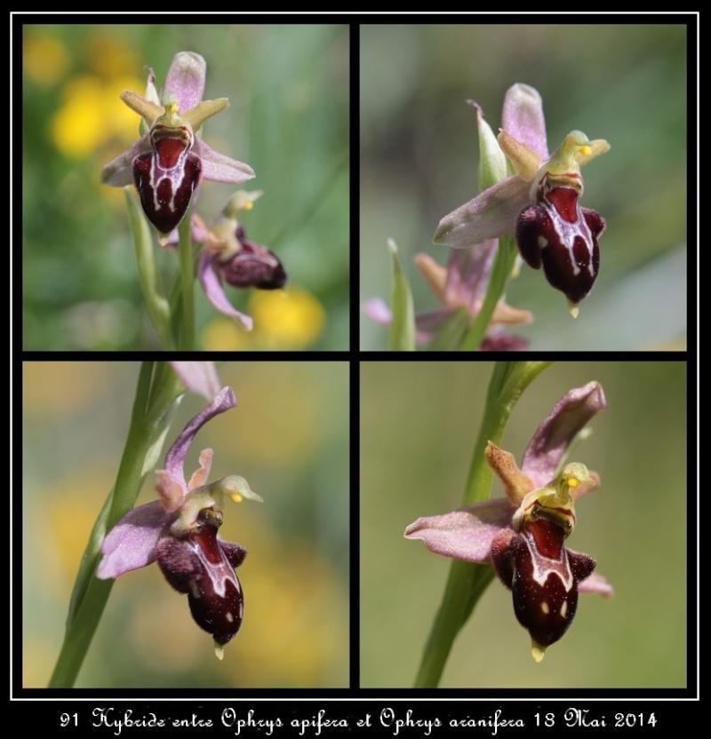 Hybride Ophrys apifera x Ophrys aranifera Copie_87