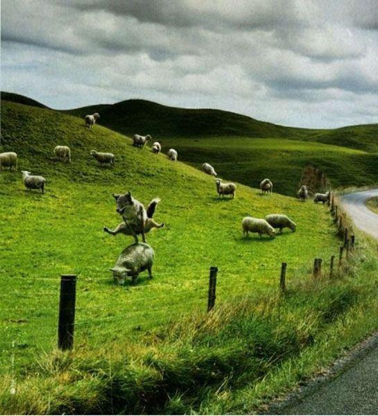 complicité border/mouton 55671310
