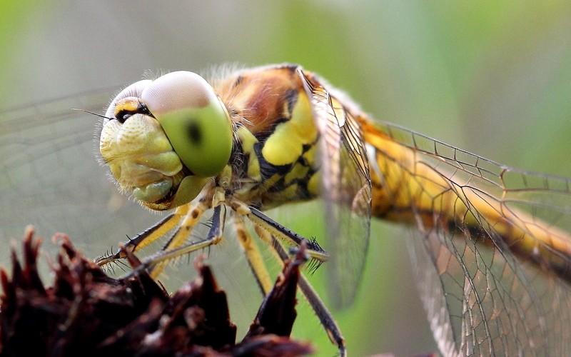 libellules Bretag10