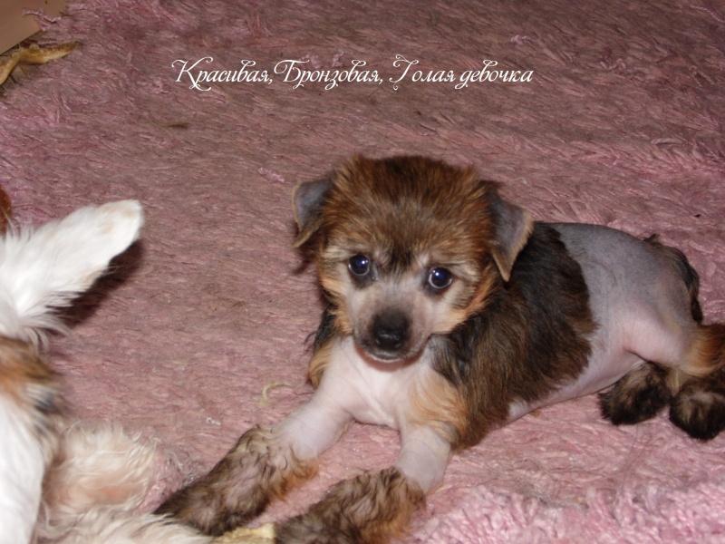 Продаются щенки Китайской Хохолатой Собаки НЕ ДОРОГО Sam_1710