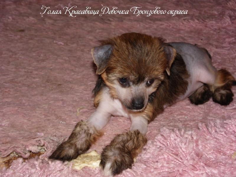 Продаются щенки Китайской Хохолатой Собаки НЕ ДОРОГО Sam_1711