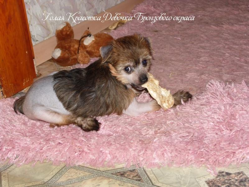 Продаются щенки Китайской Хохолатой Собаки НЕ ДОРОГО Sam_1712