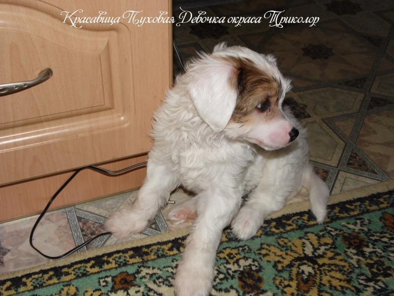 Продаются щенки Китайской Хохолатой Собаки НЕ ДОРОГО Sam_1714