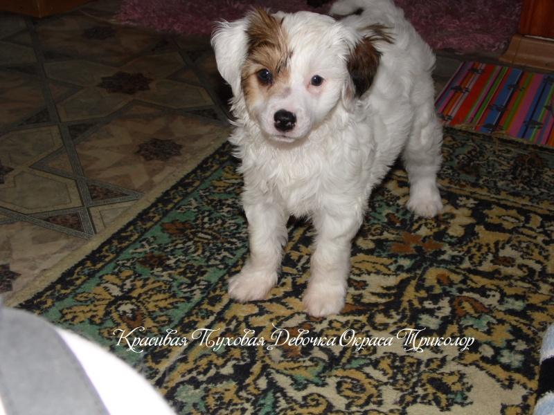 Продаются щенки Китайской Хохолатой Собаки НЕ ДОРОГО Sam_1715