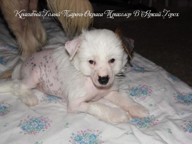 Продаются щенки Китайской Хохолатой Собаки НЕ ДОРОГО Sam_1717
