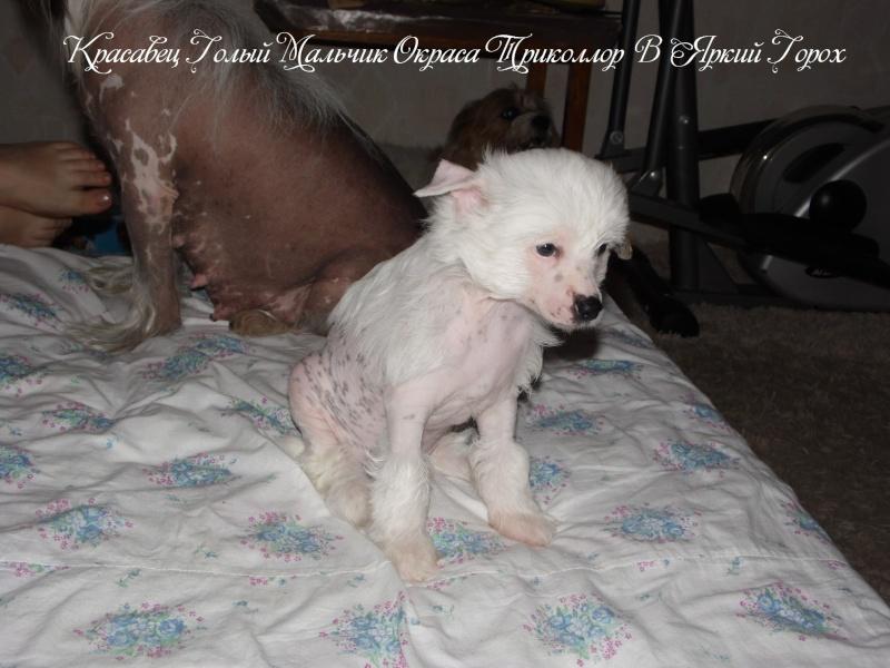 Продаются щенки Китайской Хохолатой Собаки НЕ ДОРОГО Sam_1718