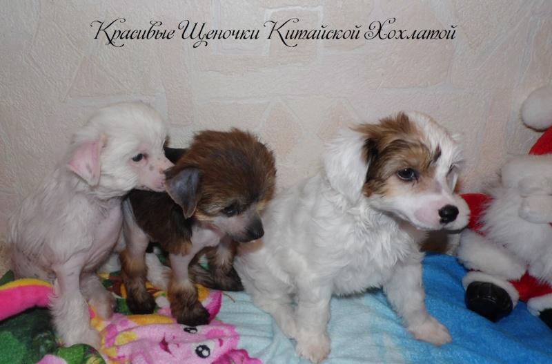Продаются щенки Китайской Хохолатой Собаки НЕ ДОРОГО Sam_1720