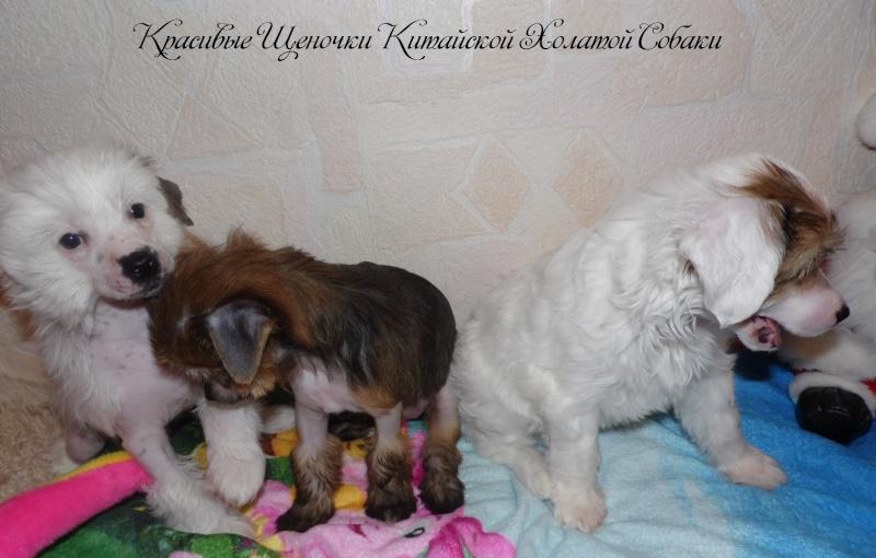 Продаются щенки Китайской Хохолатой Собаки НЕ ДОРОГО Sam_1721