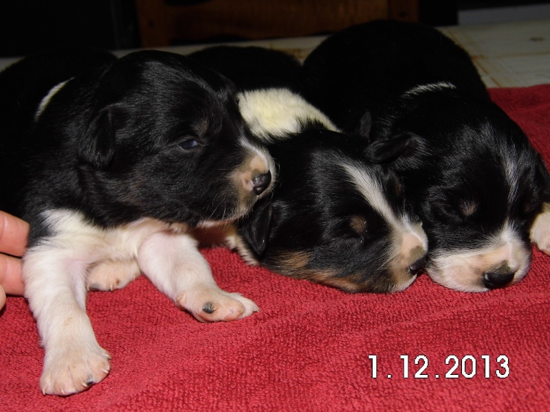 Des chiots border collie disponibles à la réservation Dsci0013