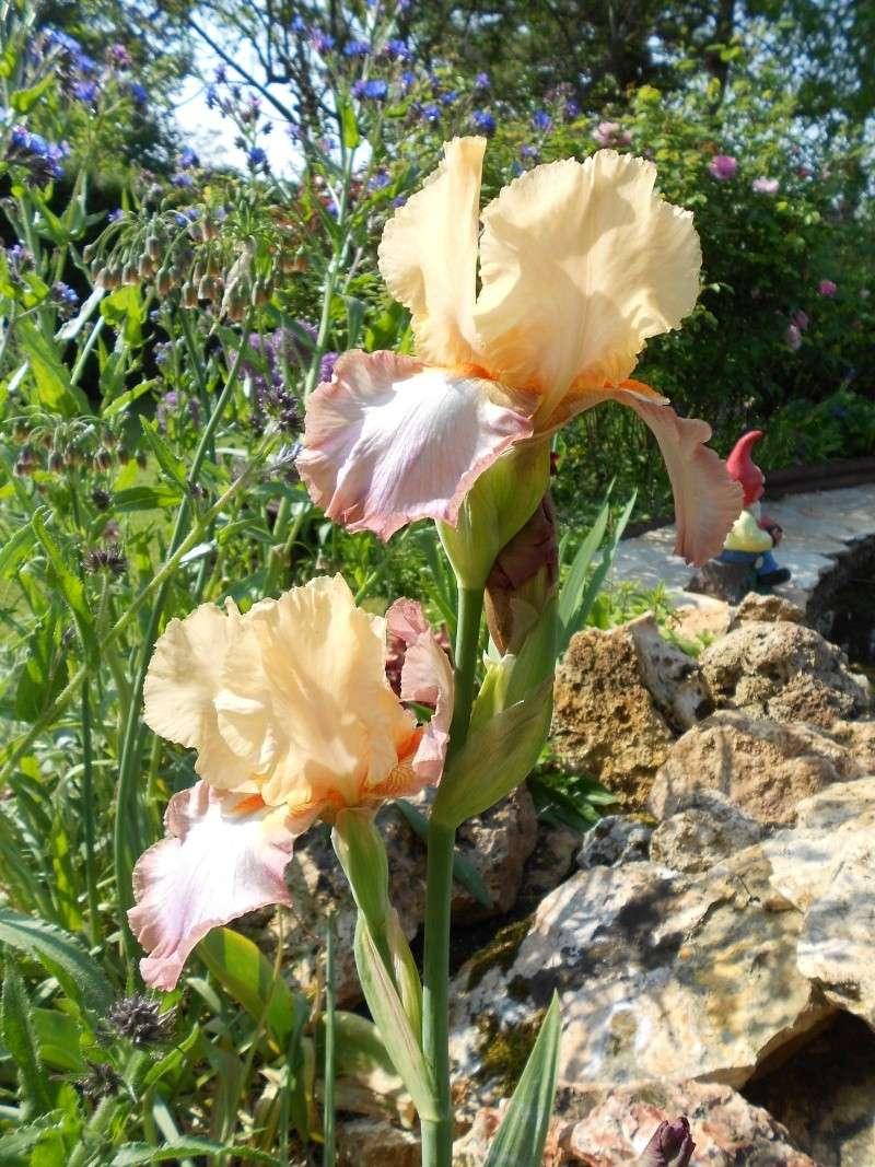 Iris : floraison 2014 - Page 9 Dscn0411