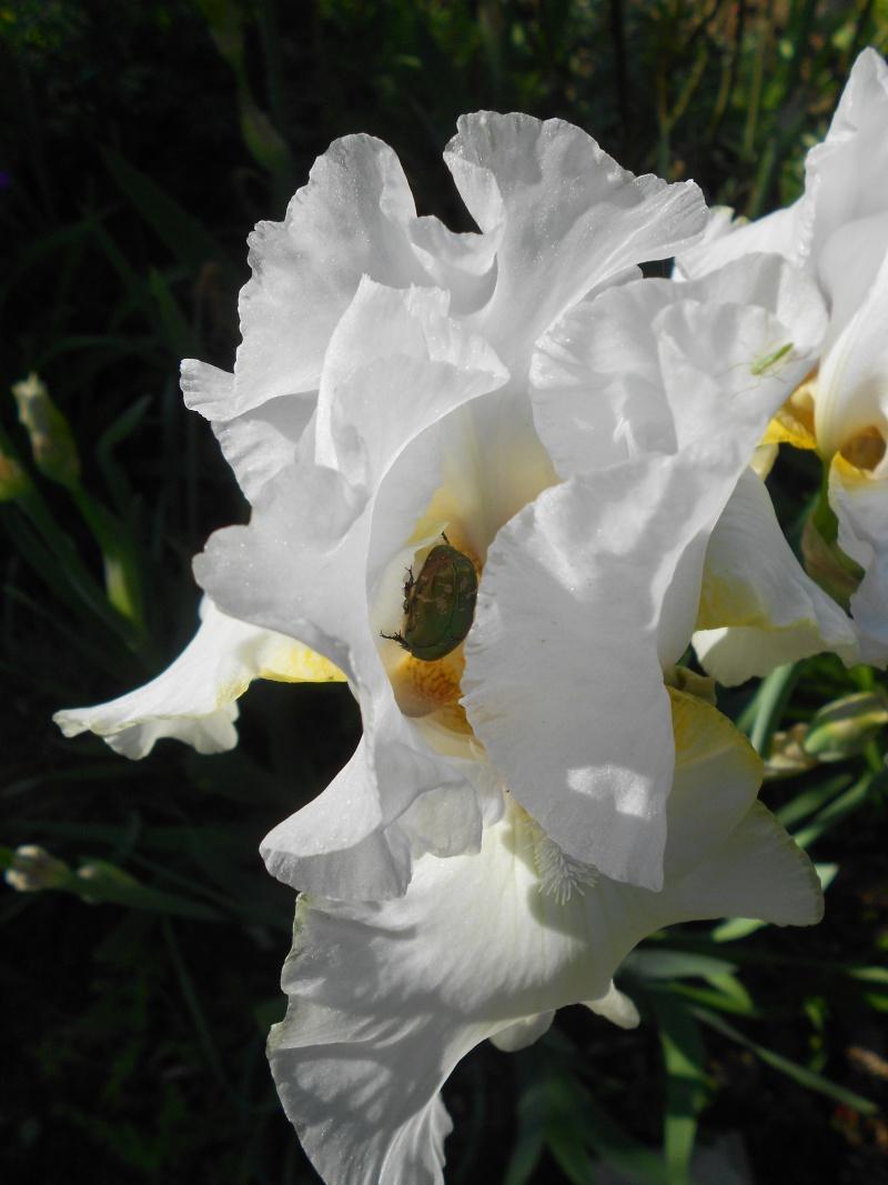 Iris : floraison 2014 - Page 5 Dscn2715