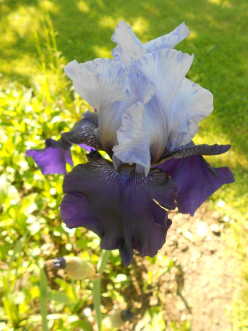 Iris : floraison 2014 - Page 6 Dscn2717