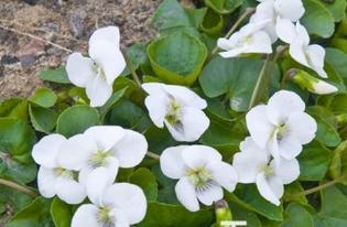 violette blanche, fleur enorme Violet10