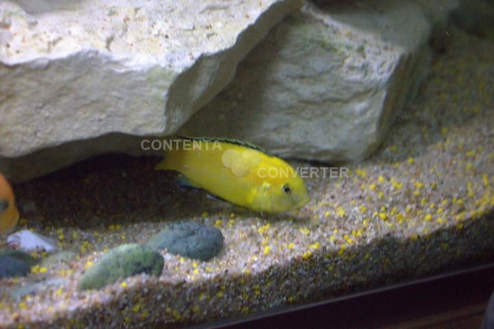 L'aquarium à Cichlidés Photo_10