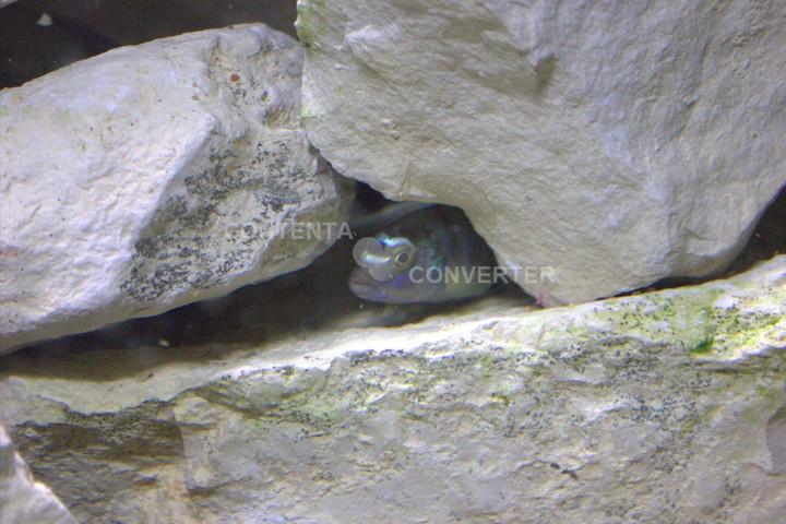 L'aquarium à Cichlidés Photo_11