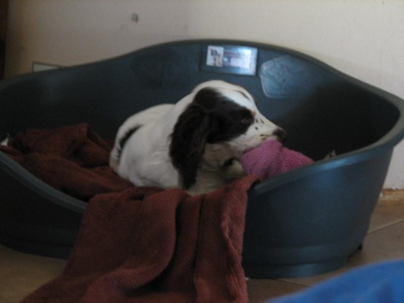 pipi - ma chienne de 7 mois fait pipi sur le canapé. 00437
