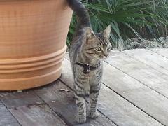 Italia, femelle tigrée née le 20/07/2013 0_0_210