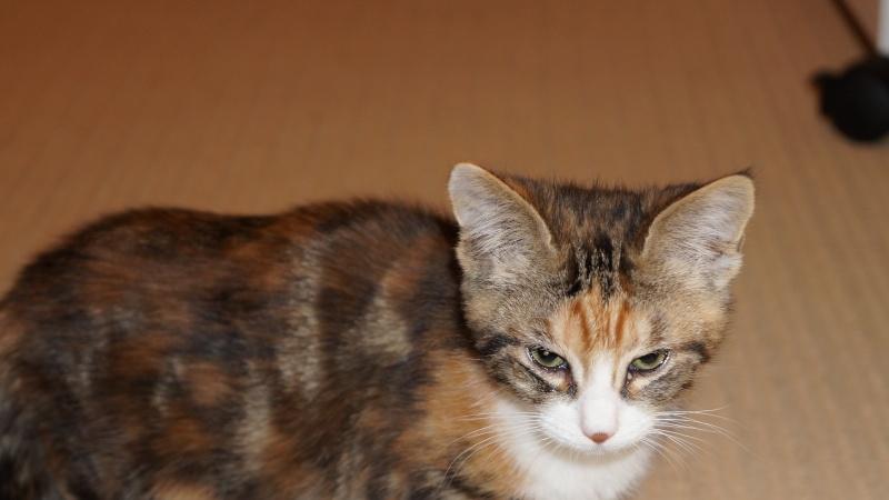 IZAE, chatonne tricolore, née le 11/10/13  Dsc02210